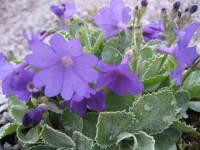 Primula marginata 'Prichard's Variety'
