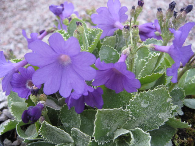 Primula marginata \'Prichard\'s Variety\' AGM