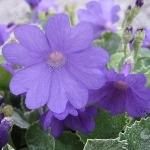 Primula marginata 'Prichard's Variety' AGM