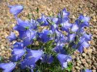 Campanula Timsbury Perfection