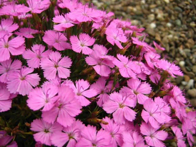 Dianthus Eileen Lever