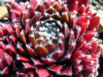 Sempervivum Jubilee