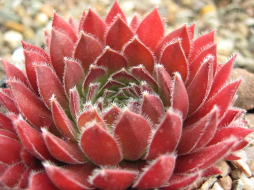 Sempervivum Clara Noyes (July)