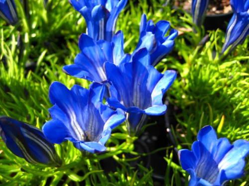 Gentiana Blue Silk