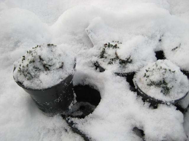 Plants under snow