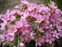 Androsace carnea subsp. rosea