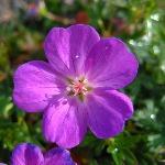 Geranium sanguineum 'Little Bead'  AGM