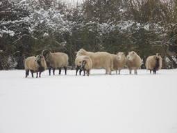 Sheep circle