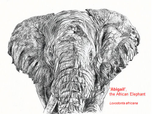 abigailtheafricanelephant