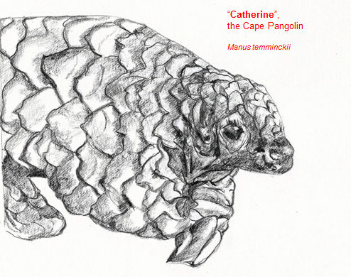 catherinthecapepangolin
