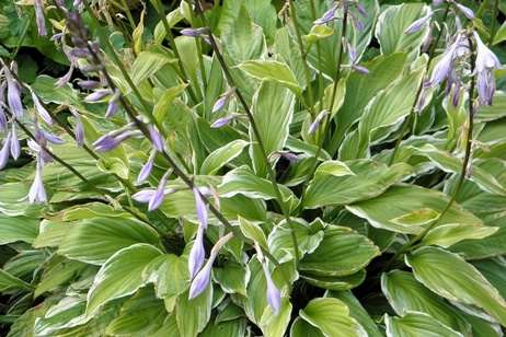 A prime example of a beautiful hosta