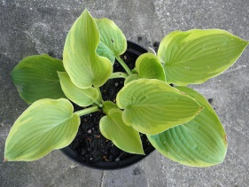 abique moonbeam, grown by North Staffordshire Hostas