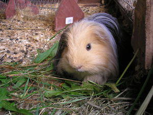 longhaired guinea pig eating food