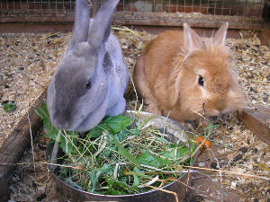 2 rabits eating closeup 2