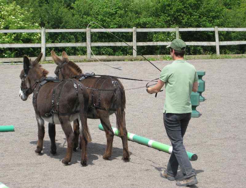 Donkey long reining pair