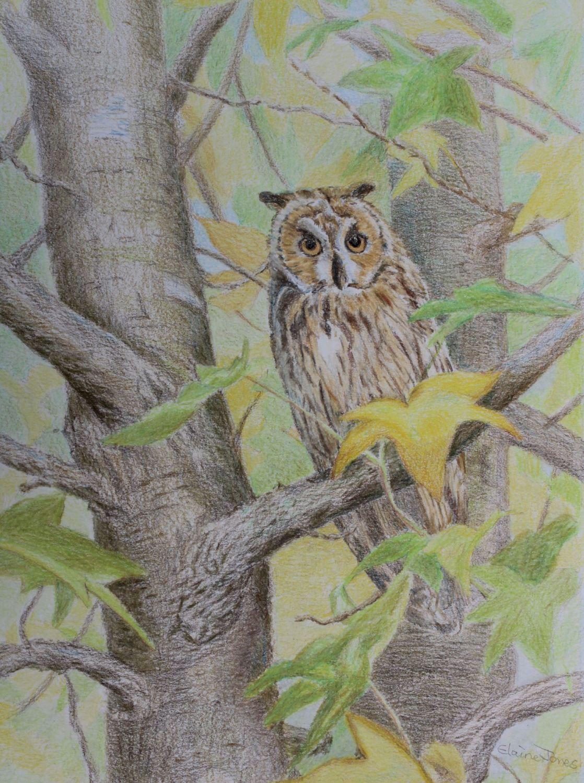 (W109A) Long Eared Owl (unframed original)