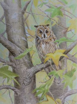 (W109A) Long Eared Owl (unframed original)