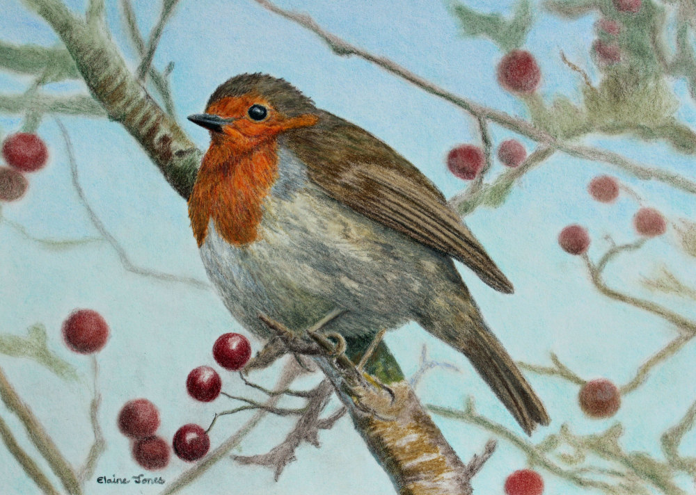 (W115A)  Robin in a Hawthorn Tree (original pencil drawing)