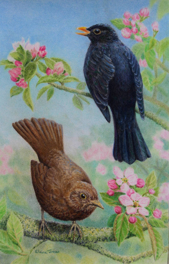 Blackbird Pair in Apple Blossom