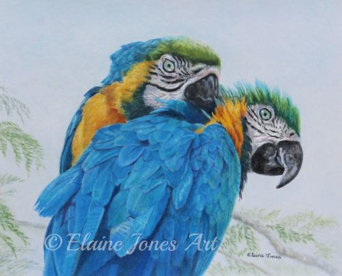 (W118A)  Macaw Mischief (original pencil drawing, mounted/matted ready to f