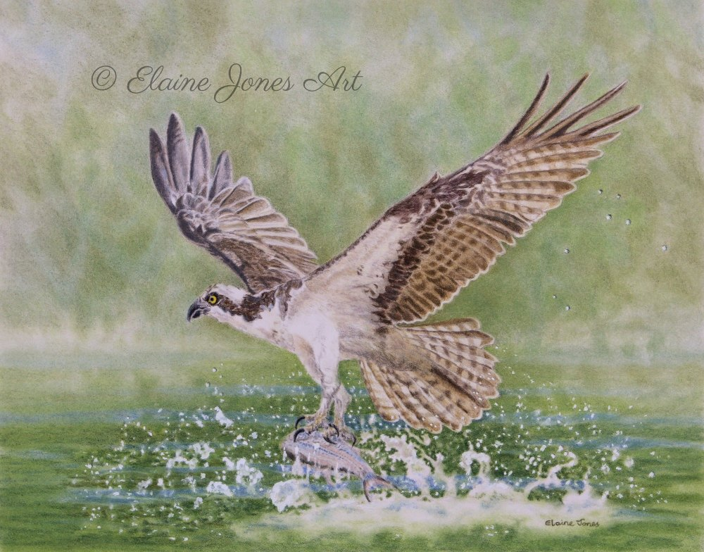 (W119A)  Osprey Fishing (original pencil drawing, unframed)