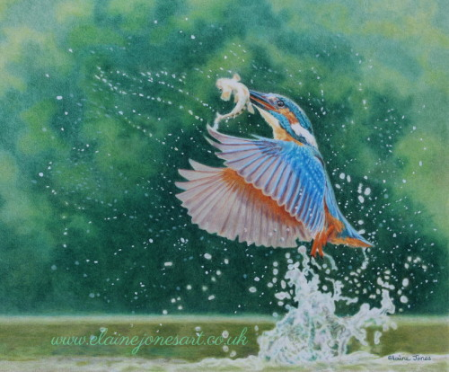 (W120A)  Kingfisher Explosion (original pencil drawing, unframed)