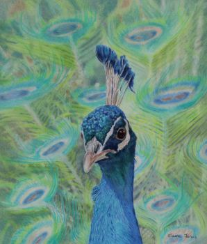 (B122A)  Peacock Portrait
