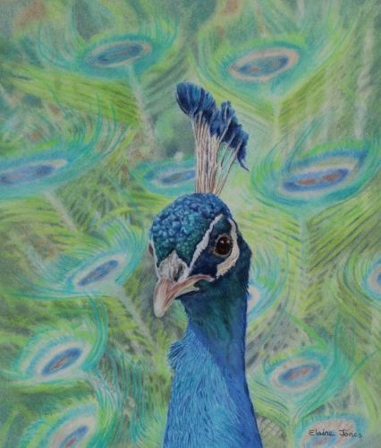 (W122A)  Peacock Portrait (original pencil drawing, unframed)