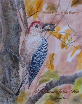 (B128A)  Red-Bellied Woodpecker