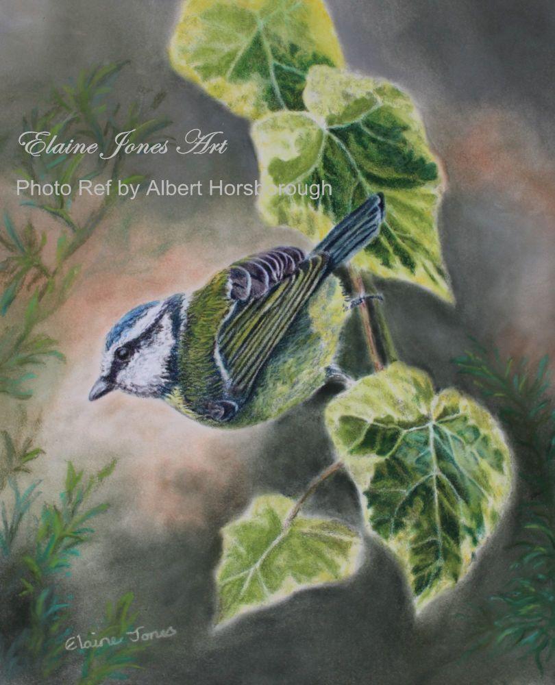 (B132A)  Blue Tit on Ivy Leaves