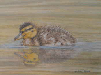 (W104A) Fluffy Duckling (Original coloured pencil drawing)