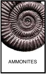 ammonite l