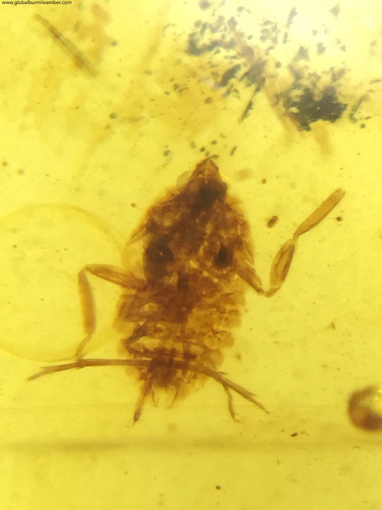 Burmite Amber with Bug Inclusion