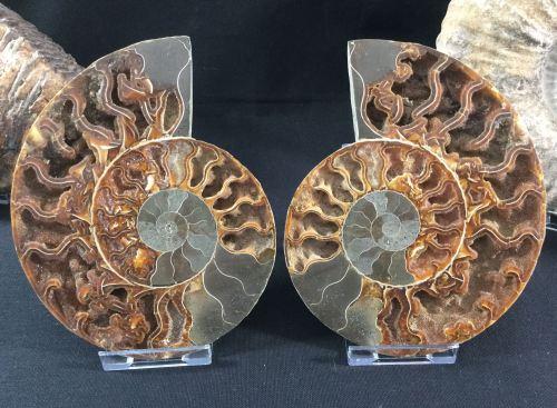 Cut Ammonite, 16.1 cm