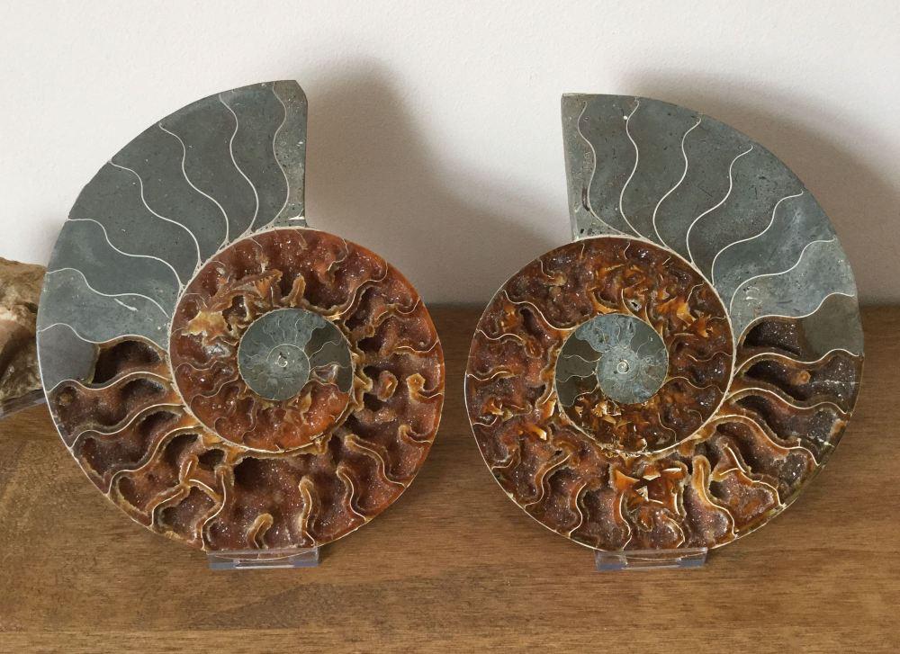 Cut Ammonite, 22.4 cm