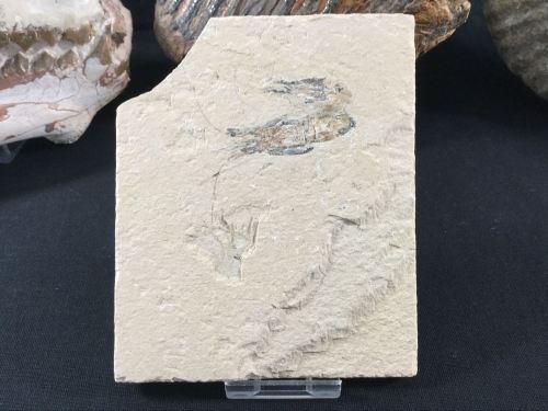 Fossil Shrimp, Lebanon #01
