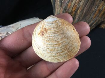 Glycymeris Bivalve, UK #10
