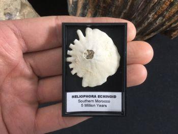 Heliophora Echinoid #10