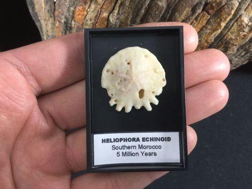 Heliophora Echinoid #02