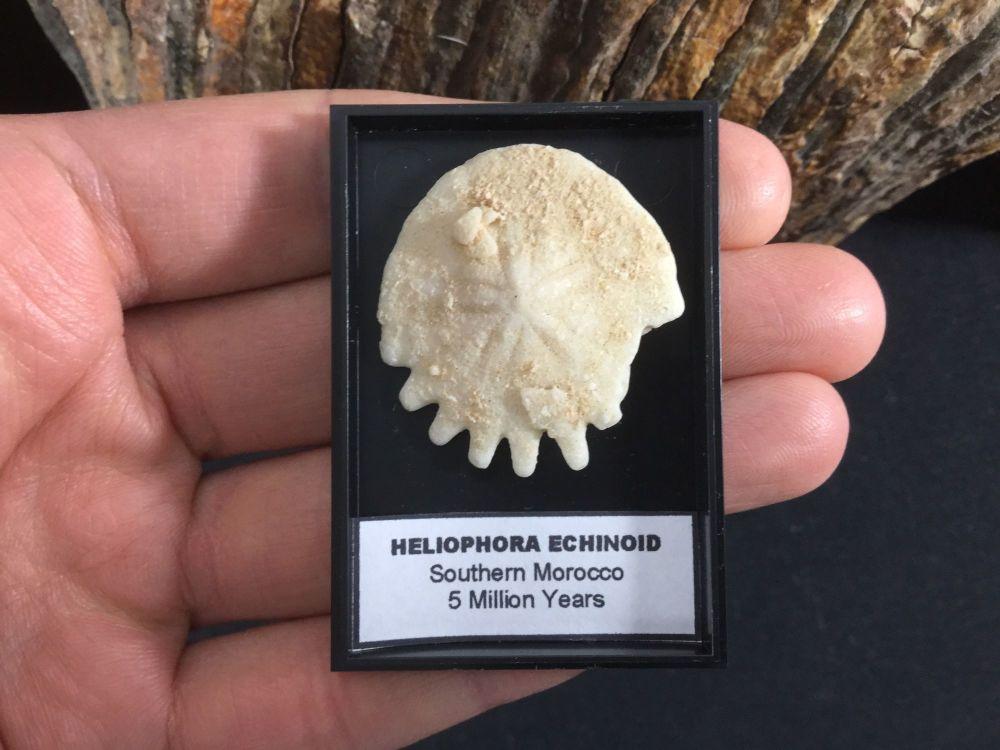 Heliophora Echinoid #07