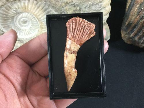 Onchopristis numidus Tooth #01