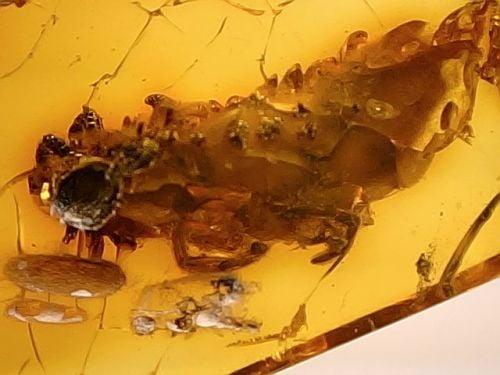 Baltic Amber #31 - Centipede Inclusion
