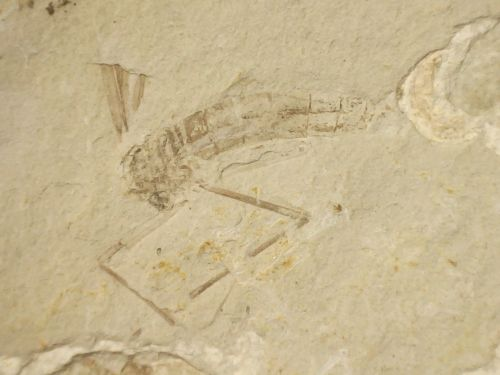 Fossil Insect, Liaoning (China) #02