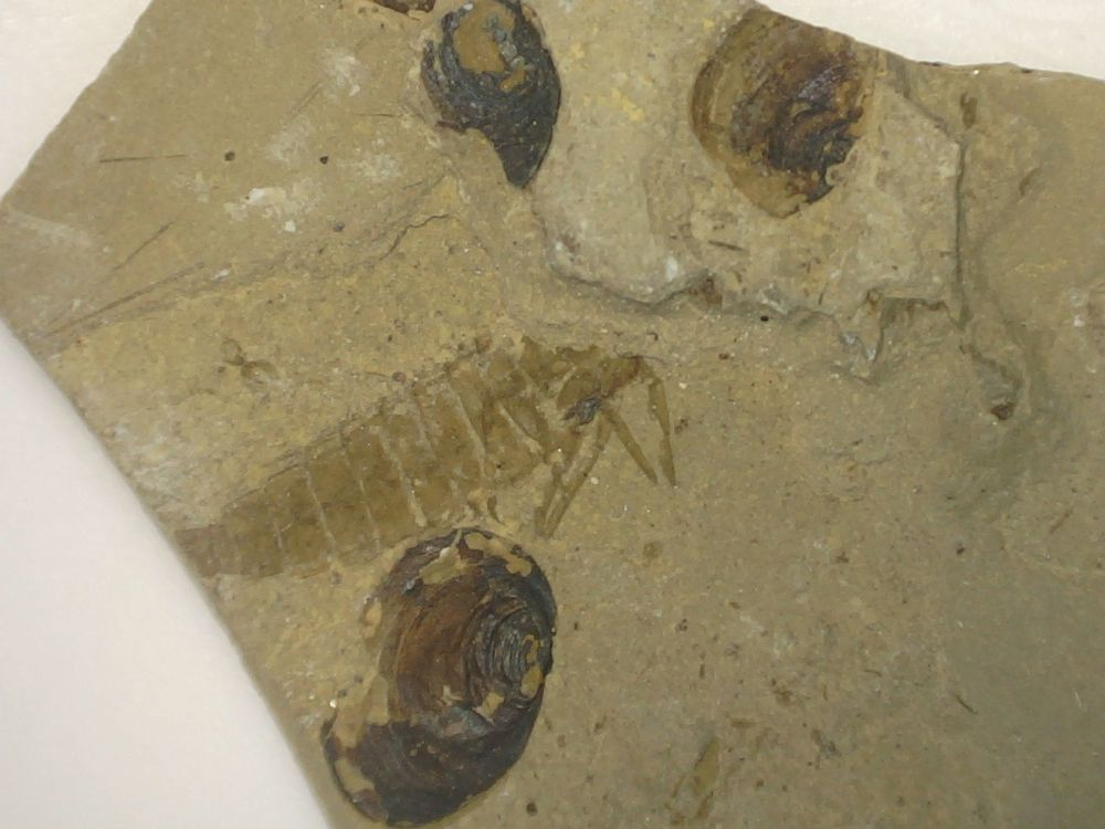 Fossil Insect, Liaoning (China) #09 - Larvae