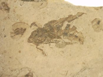 Fossil Insect, Liaoning (China) #22