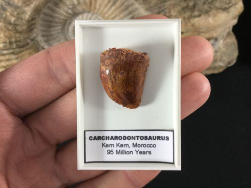 Carcharodontosaurus Tooth - 0.94 inch #CT01
