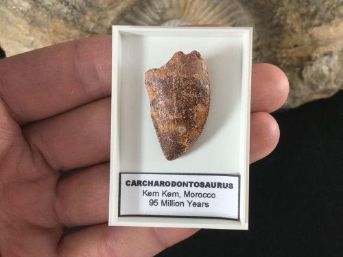 Carcharodontosaurus Tooth - 1.19 inch #CT03