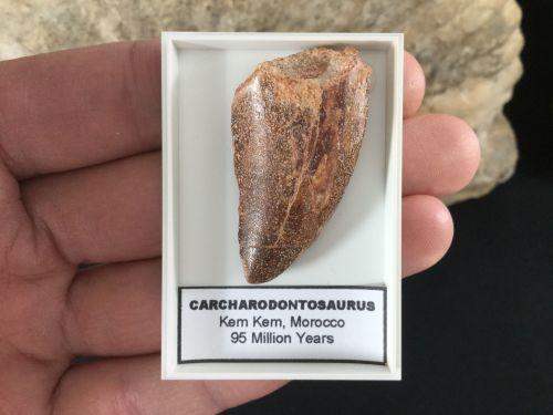 Carcharodontosaurus Tooth - 1.56 inch #CT03