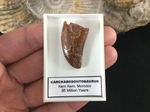 Carcharodontosaurus Tooth - 1.13 inch #CT06