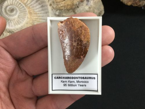 Carcharodontosaurus Tooth - 1.56 inch #CT08